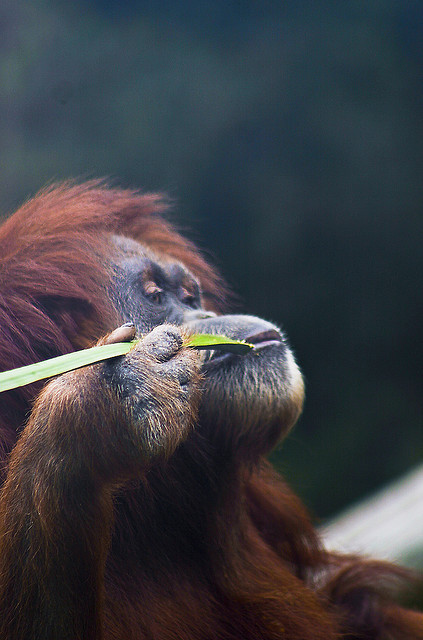 animalgazing:  orangutan contemplating life while savoring a bit of leafy goodness by alan shapiro photography on Flickr.