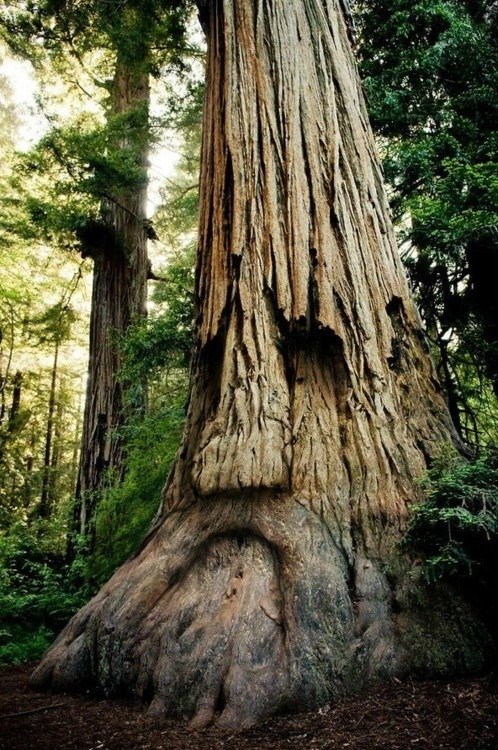 x-enial:  Grandfather tree (via pinterest)