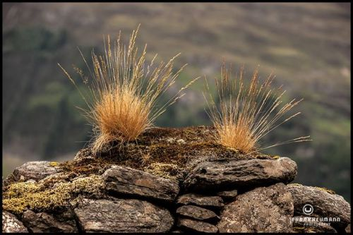 Tufts on a dyke…that is, grassy outcroppings on a dry stone wall.
