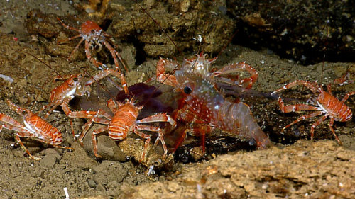"Galatheid crabs (""squat lobsters"") and a large shrimp feast opportunistically on a pelagic catch. The largest crab individuals were feeding directly on the catch, whereas the smaller crabs waited their turn to on the outskirts of the group. Image captured by the Little Hercules ROV on a site referred to as 'Zona Senja' near Sulawesi, Indonesia, on August 2, 2010.  Image courtesy of NOAA Okeanos Explorer Program, INDEX-SATAL 2010"