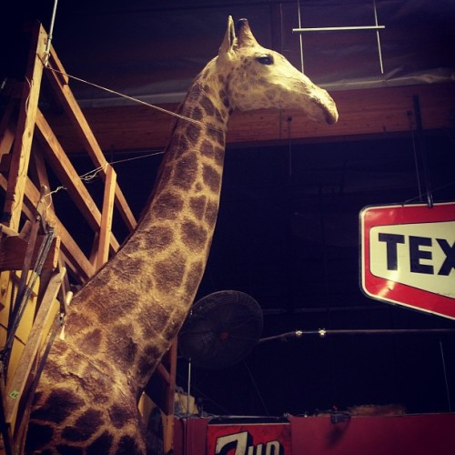 Taxidermy giraffe for sale in Old Town Temecula, only $8k  #taxidermy #giraffe #antique #giraffetaxidermy #holygiraffeheadbatman