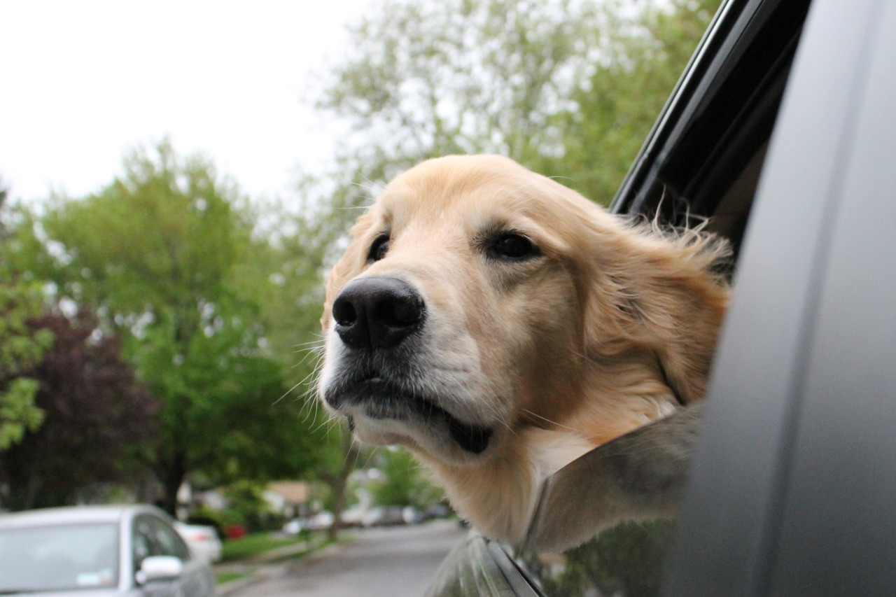 handsomedogs:  The handsome Jake going for a ride