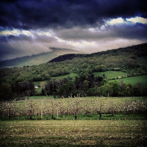 Low clouds rolling in over the apple orchard. (at Cricket Creek Farm)