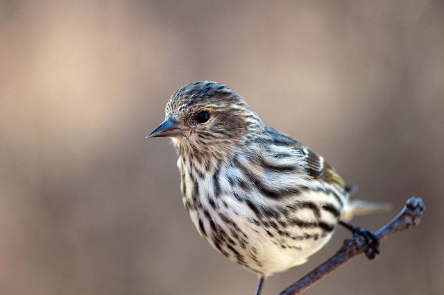 Pine Siskin on Flickr.
