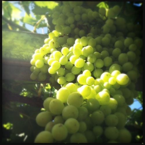 Summer grapes!