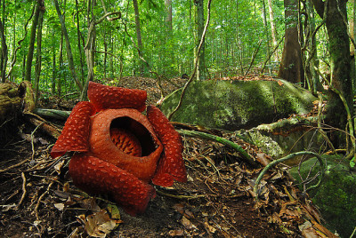 rafflesia flower in borneo