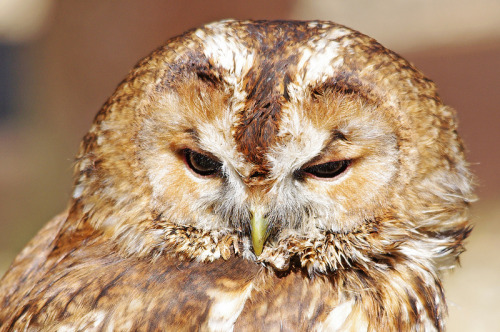 wingedpredators:  Simba, Tawny Owl (Photo by Hugobian)