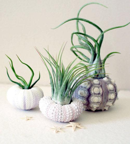 mixed trio // air plant sea urchins