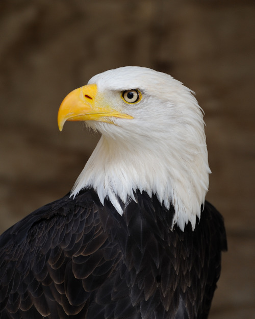 "rhamphotheca:  The Bald Eagle (Haliaeetus leucocephalus) is a bird of prey found in North America. As visible here, the adult Eagle is not bald, but has a head of white feathers. Its name comes from an older meaning of the word, meaning ""white headed"". (photoh: W. Lloyd MacKenzie)                                     (via: Wikipedia)"