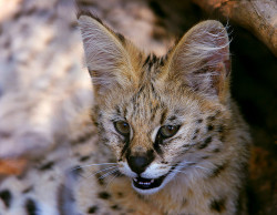 A Little Beauty by AnyMotion on Flickr.Young Serval, Moholoholo Rehab Center, South Africa