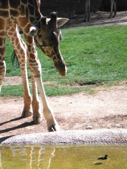 "via Reid Park Zoo   Curious male giraffe ""Jasiri"" inspects a duckling in his pond.   ちっちゃ(^▽^)! @Reid Park Zoo, AZ."
