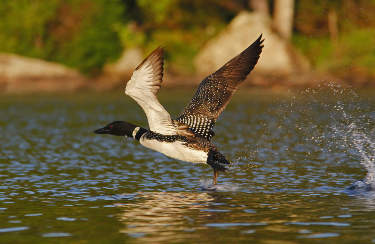 Photo of the Day (http://ncpr.org/photo): Loon taking to the air at Lake Ozonia. Photo by Joe Woody.