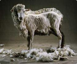 "animalsandtrees:  WHY SHOULD YOU GO WOOL-FREE?""The wool industry involves a lot of cruelty, and sheep raised for wool endure a lifetime of horror. Sheep are gentle, peaceful individuals who, just like us, feel pain, fear and loneliness but because there is a market for their fleece and skins, they are treated as nothing more than wool-producing machines. If they were left alone and not genetically manipulated, sheep would grow just enough wool to protect themselves from temperature extremes as the fleece provides effective insulation against both cold and heat but sheep exploited for their wool have been bred to produce more wool than is natural.Every year, using tools resembling gardening shears, industrial wool farmers in Australia (the largest producer and exporter of wool in the world) routinely mutilate OVER 20 MILLION helpless lambs on wool farms by cutting large swaths of skin and flesh from the area around the anus and, for females, around the vulva, as well. This barbaric, gruesome procedure is called ""mulesing"" and is typically performed without any painkillers.During mulesing, again without any pain killers, most sheep have their tails cut off, ears hole-punched and, if male, are castrated (""marked""). The purpose of mulesing is to produce wool free of any scars, faecal/urine stains and skin wrinkles. After mulesing, many sheep die a slow, agonizing death.The practice of mulesing is defended as an effective means of combating a blowfly infestation called ""flystrike."" Industry beneficiaries and spokespersons would have you believe that mulesing is a carefully performed surgical procedure that is simply meant to benefit the sheep from a distressing and possibly deadly pest; however, that is not the case at all.To maximize the profit, the wool industry has engineered the sheep to have ever-increasing amounts of wool-bearing skin. This unnaturally high skin surface creates very high densities of skin folds, which lead to an extreme overabundance of heat, moisture and excrement trapping that attracts flies. The flies lay their eggs in the skin fold, and resulting maggots begin to consume the sheep's skin in the extremely painful condition known as ""flystrike."" Basically, wool producers are the ones who created the flystrike problem for profit and now use it as an excuse to justify mulesing. For the industry, the only thing that really matters is:More skin folds → More skin area per sheep → More wool per sheep = Higher profit marginsShearers are usually paid by volume, not by the hour, which encourages fast work without regard for the welfare of the sheep. One eyewitness says, ""the shearing shed must be one of the worst places in the world for cruelty to animals … I have seen shearers punch sheep with their shears or their fists until the sheep's nose bled. I have seen sheep with half their faces shorn off …""When their wool production begins to decline, most sheep, without access to any food or water for days/weeks, are sent on a long journey in a severely crowded, multitiered ship to other countries. These sheep - millions every year from Australia - are often slaughtered by having their throats cut while they're still conscious.WHAT CAN YOU DO?1) Acknowledge and spread the fact that animals are NOT here for us but with us. Animals are not commodities to be used, abused and discarded. Although they might look the same, every animal is an irreplaceable individual with a unique personality.2) Not purchase anything wool. The only reason why the wool industry exists is because we demand its existence by purchasing wool products. As wool alternatives, there are plenty of cruelty-free fabrics such as faux wool, cotton, cotton flannel, polyester fleece, synthetic shearling and many others. Remember: you have options; they do not.3) Share this post to raise awareness and save lives.4) However unbelievable this might sound, what you have read here is only the tip of the iceberg as far as the cruelty animal-based industries are built upon. Albeit unknowingly, you're funding and demanding unimaginable pain. To be fully informed, please watch the multi-award winning documentary, Earthlings, and encourage others to do the same; Earthlings is free: www.earthlings.com Together, we CAN stop all suffering.For more info:www.theethicalman.com/wool.htmlwww.vegsource.com/jo/qa/qawool.htmwww.suite101.com/article/vegan-clothing-and-accessories-alternatives-to-animal-products-a344270Image source: www.animalsaustralia.org """