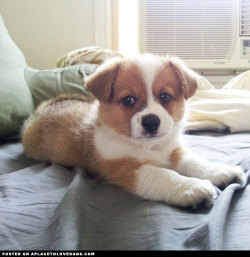 New puppy Augustus, a Corgi and mini Australian Shepherd mix is practically as cute as a button, if not cuter  For more cute dogs and puppies