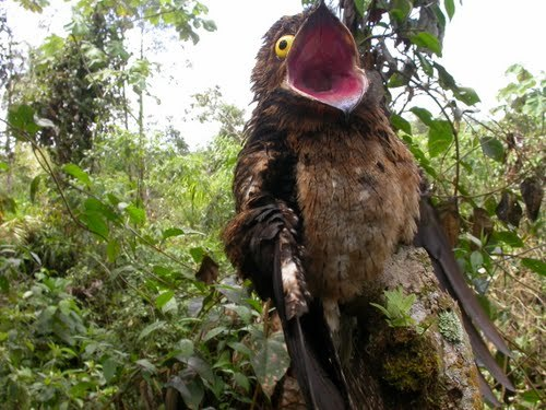 The Potoo - Either the most unphotogenic or the most ridiculous looking bird in the world.