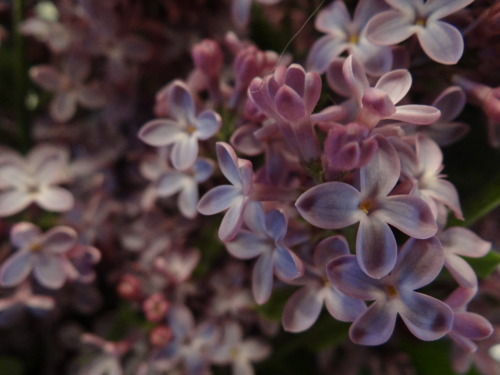 lilacamy11:  in time of lilacs who proclaim the aim of waking is to dream - e.e. cummings