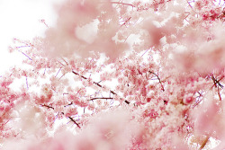 whateverhappensdarling:  Fantastic Blossom on We Heart It. http://weheartit.com/entry/46553031/via/TulleChantilly