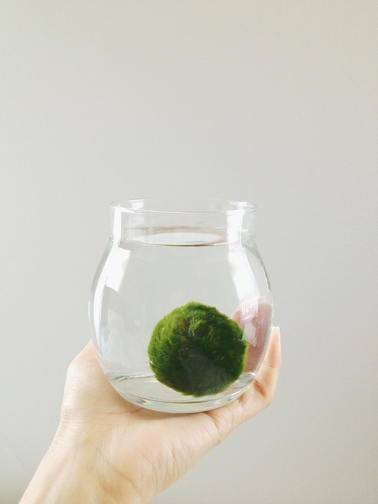 polagram:  My marimo I named Ponyo :3 . A Japanese national treasure .
