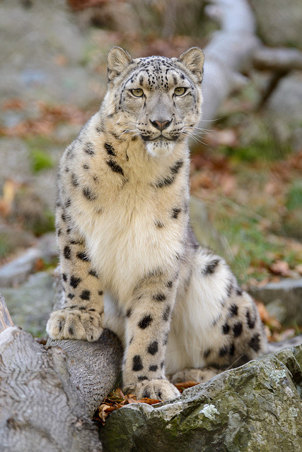 tigersandcompany:  Snow leopard (by Eric Kilby)