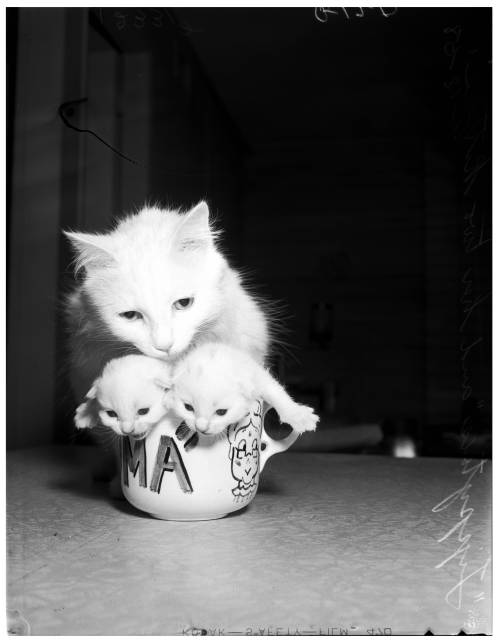 """'Tippytoes,' mother cat, and her two kittens in teacup.""  April 1958. Source: Los Angeles Examiner Collection, Doheny Memorial Library, University of Southern California."