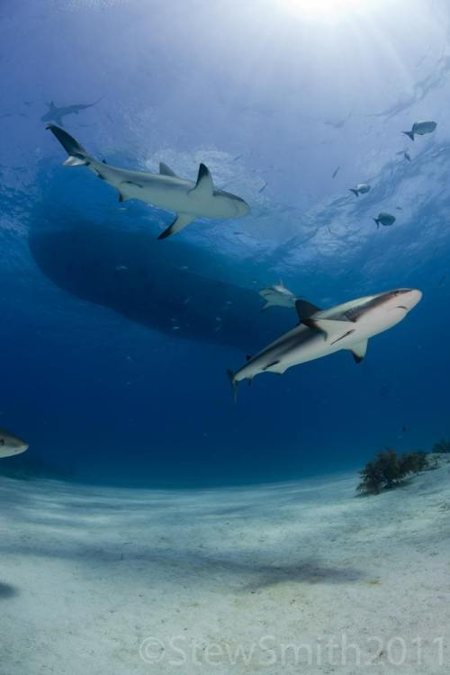 Cruising Reef Sharks | by samui13coconut13