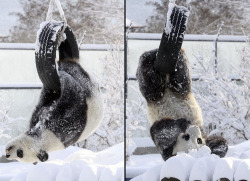allcreatures:  Giant Panda Qing Feng plays with a tyre after snow fell at the zoo in Yantai, Shandong Province, China. Picture: China Foto Press / Barcroft Media