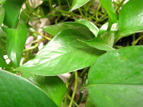 Poisonous Winter plant - Devil's Ivy…