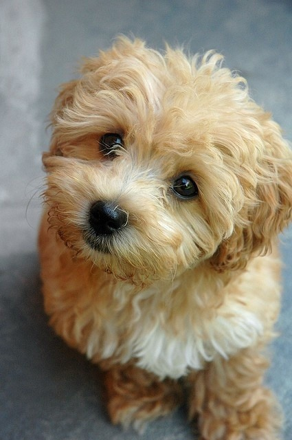 chinup-walktall:  Maltipoo Puppy op @weheartit.com - http://whrt.it/12lW4sF