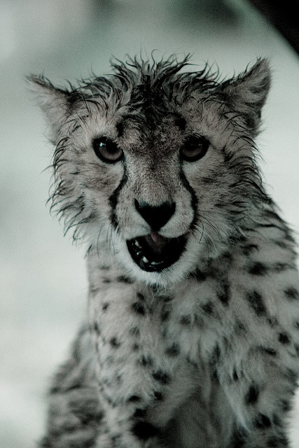 theanimaleffect:  Cheetah Cub Attitude by kingjn on Flickr.
