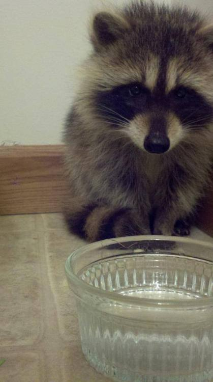 catsbeaversandducks:  Photos via Raccoons