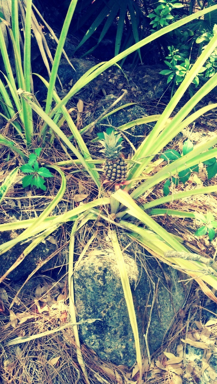 My baby pineapple:]