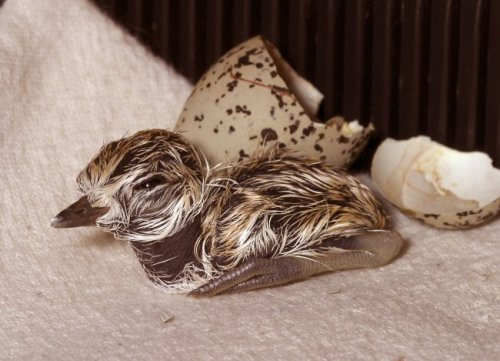 Did you know that we're one of the main rehabilitation sites for shorebirds in northern California? We just received our first snowy plover eggs of the season!  Three eggs came from Oceano Dunes State Park after being abandoned for two days. They're in an incubator, and may hatch soon behind the scenes! Learn how we're helping save snowy plovers.