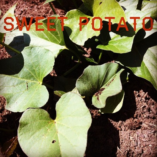 Garden Alphabet: Sweet Potato | A Gardener's Notebook with Douglas E. Welch #garden #plant #grow
