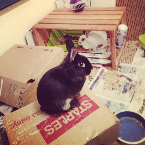 Bunny on a box #rabbit#bunny#bunniesofinstagram#cute#animals