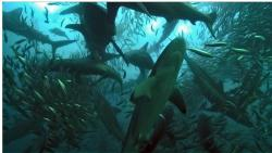 Sharks descend on a bait ball of sardines during a feeding frenzy, off the South African Cape. BBC Africa Cape (episode four)