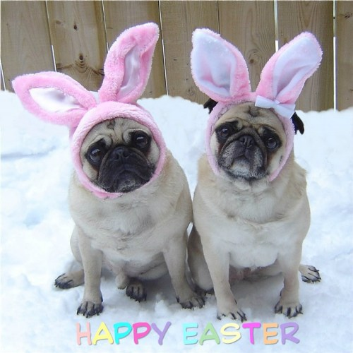 Pug Easter Bunnies submitted by dapuglet