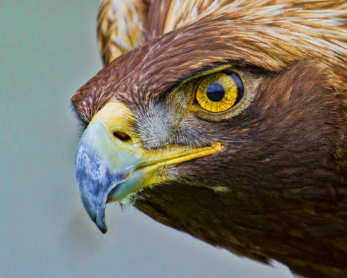 captivating-animals:  Golden Eagle by *GreyVolk