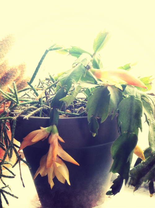 Schlumbergera morning view
