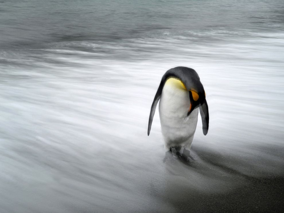 Penguin, South Georgia Island Photograph by Max Seigal  It was 5 a.m. and we had just landed on the shore of South Georgia to catch the sunrise. It was cloudy and overcast, which presented the perfect opportunity for me to shoot some long exposures. At first I experimented with standing out in the water and photographing the crashing waves contrasted with the penguins on shore, but the waves were moving my tripod too much to get a stable shot. I realized I would need to be on shore, where I could get a steady shot, but I still wanted to include the water in my photo. I looked over and saw this lone penguin just at the water's edge. I quickly aimed and took this long-exposure shot, and moments after the shutter clicked the penguin looked up and walked off. Even though the sky didn't glow orange that morning due to overcast conditions, I still walked away very pleased with shooting in wonderful conditions that allowed me to capture this image. —Max Seigal