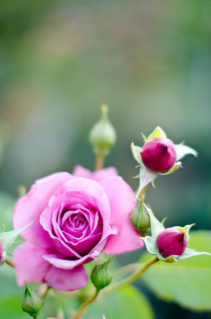 rose by totomai on Flickr.
