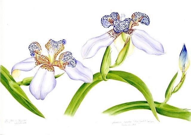 Falso-íris Maria Alice de Rezende Brasil Especie: Neomarica caerulea (Ker Gawl.) Sprague Es una planta bulbosa de la familia Iridaceae de flores perennes, nativa de Brasil. La familia presenta una distribución amplia, que comprende más de 70...