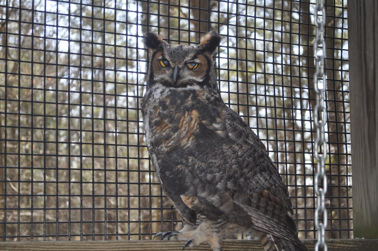 April 11, 2013 A glimpse of the nictitating membrane of the Great Horned Owl—an extra eyelid used for protection when flying, capturing prey, and feeding young.  They're easier to spot on animals with large eyes! —photo by Justin Raymond