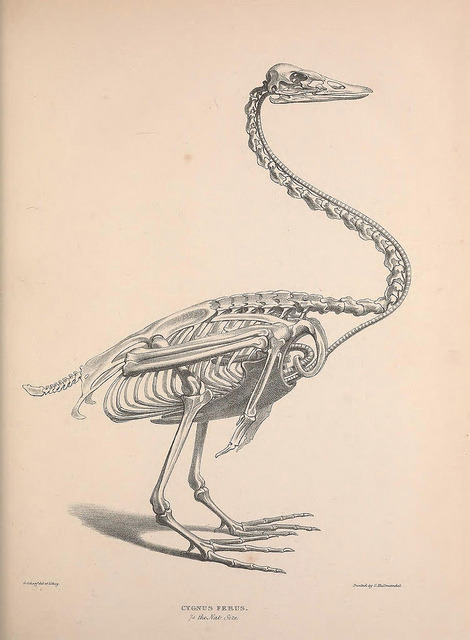 Swan skeleton (Cygnus ferus) by BioDivLibrary on Flickr.