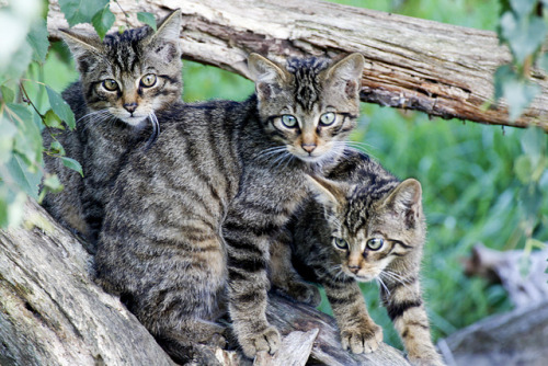 funkysafari:  Scottish wildcats by wwmike
