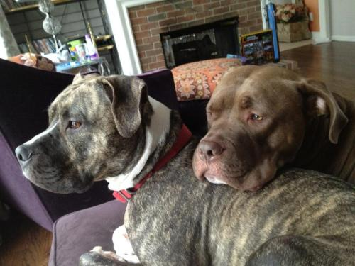 fuckyeahpitbullterriers:  Mason and Jackson :)  Entry 23 bajo-el-mar submitted