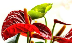 Anthurium on Flickr.