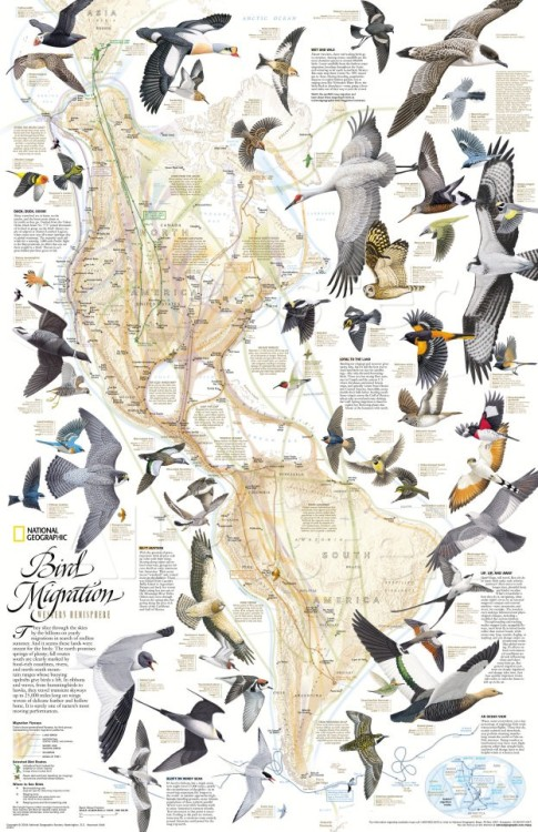 Bird Migration, Western Hemisphere, National Geographic