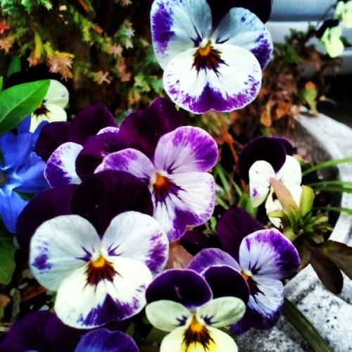 #springtime #pansies #flowers #beautiful #garden #instamood #picoftheday #instamood