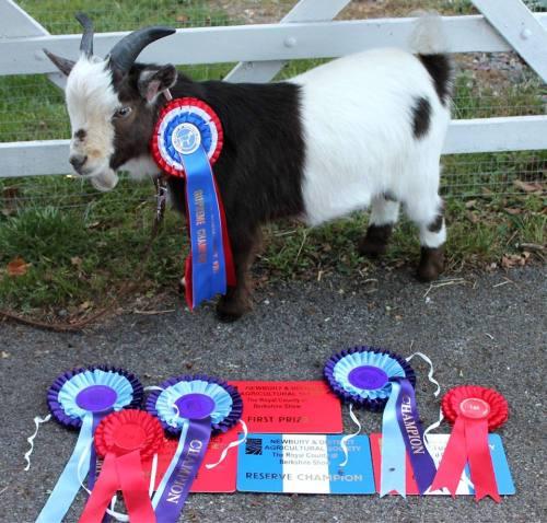babygoatsandfriends:  champion goat! Pete and Becky's Smallholding   Best goat wins
