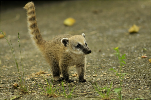 earthlynation:  Young Coati
